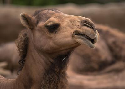 Camel-5981