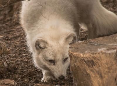 Arctic Fox-6187