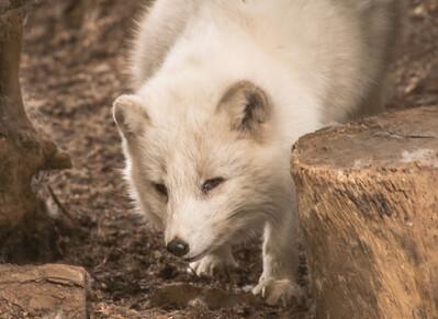 Arctic Fox-6190
