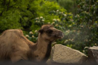 Camel-1975