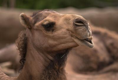 Camel-5985