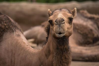 Camel-5974