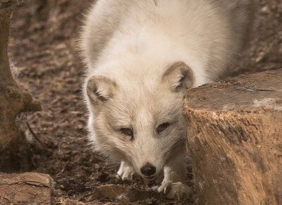 Arctic Fox-6189