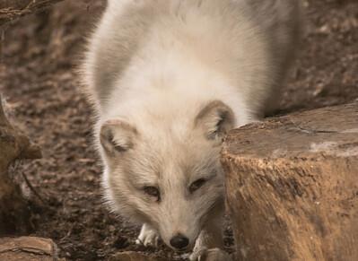 Arctic Fox-6188