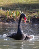 Splish, splash, I was takin' a bath!  (Black Swan)