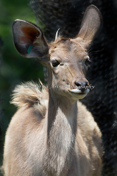 """Greater Kudu baby, """"Jamie"""", is half grown now and pretty big!"""
