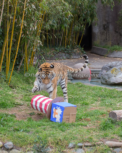 """Martha, a Siberian Tiger, knocks over her """"Cat in the Hat"""" box, and finds a bone inside!  All the boxes for this event were decorated by the Lion Keepers.  Good job!"""