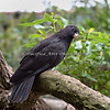 Black Parrot (Lesser Vasa Parrot) in the African Aviary