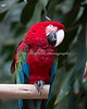 Green-winged Macaw in the South American Aviary