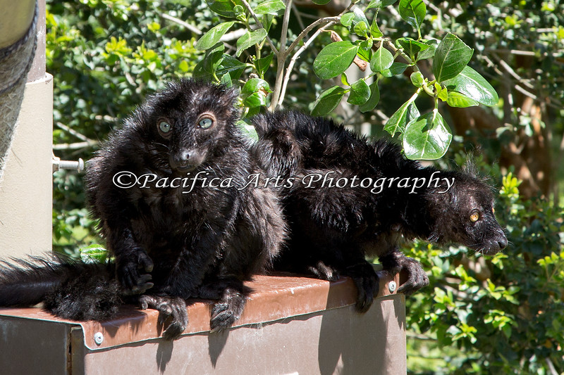 Black Lemurs - one with blue eyes and one with golden eyes.  These two are good buddies.