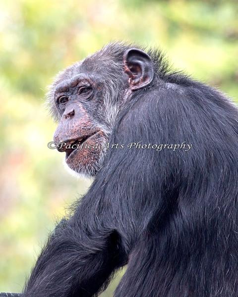 Chimpanzee, Minnie