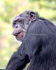 Chimpanzee, Minnie