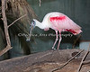 Roseate Spoonbill in the South American Aviary