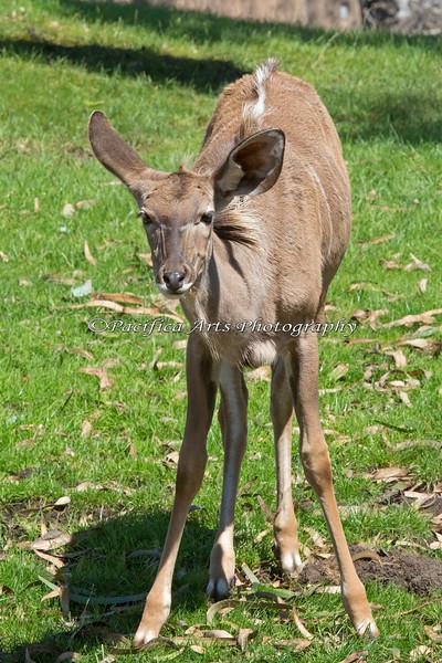 Greater Kudu calf, Jamie