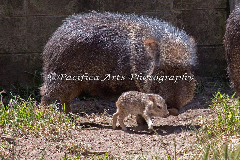 Mom keeps a good eye on her baby. (Chacoan Peccary)