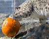 Kellie, the Snow Leopard tries to find a way of getting the treat, hidden inside the pumpkin.