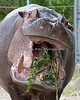 "Nile Hippopotamus, Brian Wilson says, ""You must eat all your greens!"""