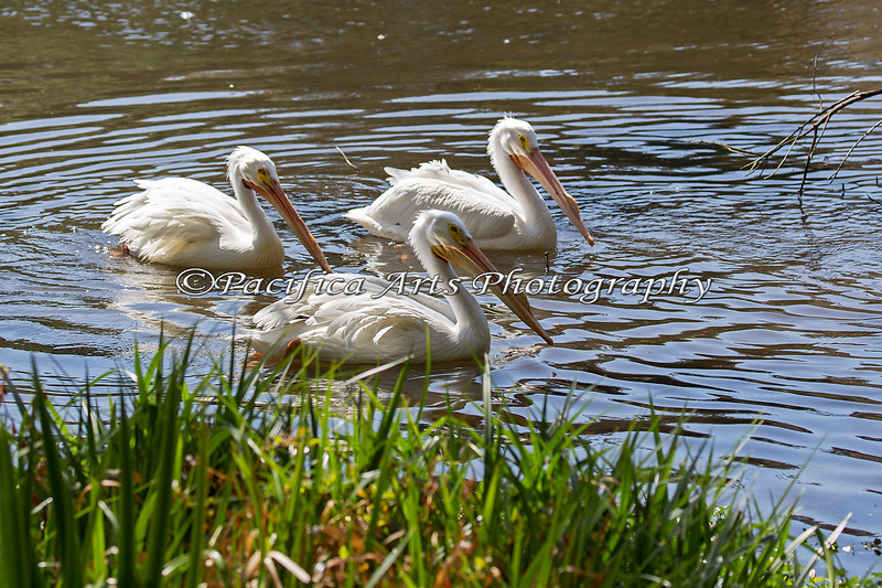 Three Buddies at the Billabong.  (American White Pelican)