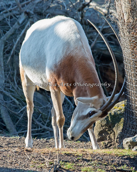 Scimitar-horned Oryx sparring with the tree trunk