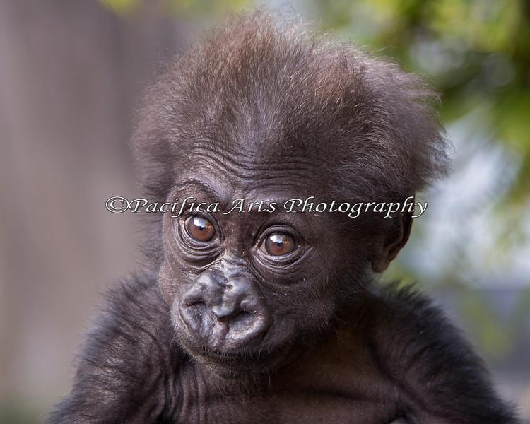 Such a C.U.T.E. Baby!  And now she has a name:  Kabibe!!!  (3 month old, female, Western Lowland Gorilla)