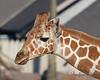 Erin, a young female Reticulated Giraffe