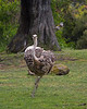 Ostrich, on the run!