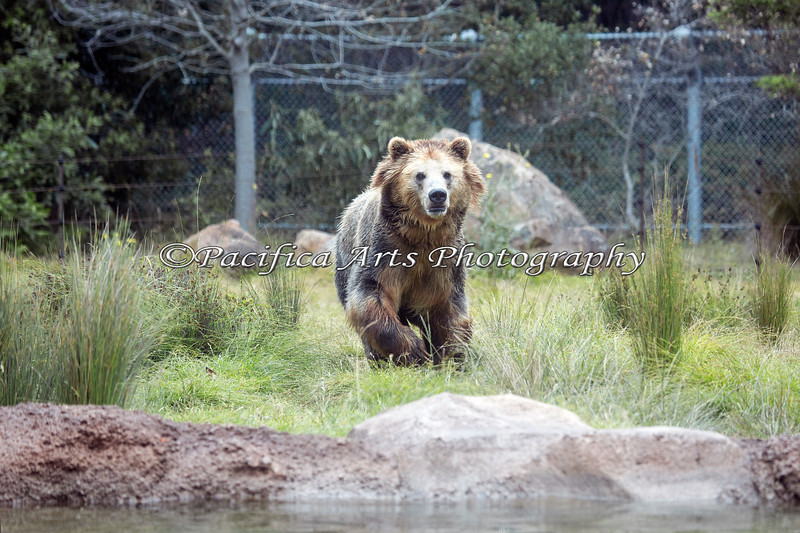 """""""Oh Boy - Lunch!""""  (Grizzly Bear)"""