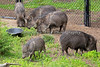 Chacoan Peccaries - the whole clan.  Baby is out front.