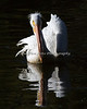 """Elegance at the Billabong""   (American White Pelican)"