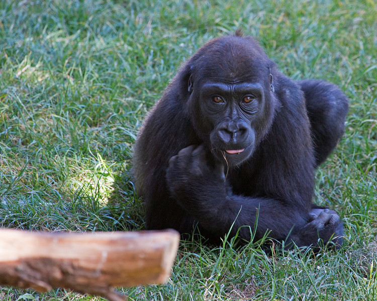 Hasani relaxing and chewing on a bit of grass.