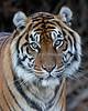 What a pretty face!  (Leanne, a female Sumatran Tiger)