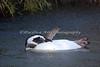 Magellanic Penguin, preening underneath the water spray.