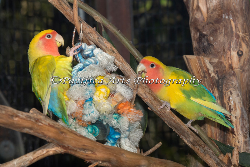 Rosey-faced Lovebirds playing with their rope toy.