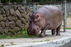 Nile Hippopotamus, Brian Wilson, trotting around his yard.  He's pretty light on his feet for being a heavyweight!