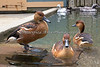Fulvous Whistling Ducks at the Children's Zoo