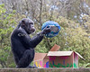 Chimpanzee, Minnie, plays with one of the eggs she found during the Big Bunny's Spring Fling event.