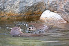 North American River Otters, Trent & Kellie
