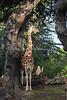 Bititi, a female Reticulated Giraffe in the African Savanna exhibit.