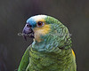 She's even prettier close-up! (Maya, a Blue Fronted Amazon)