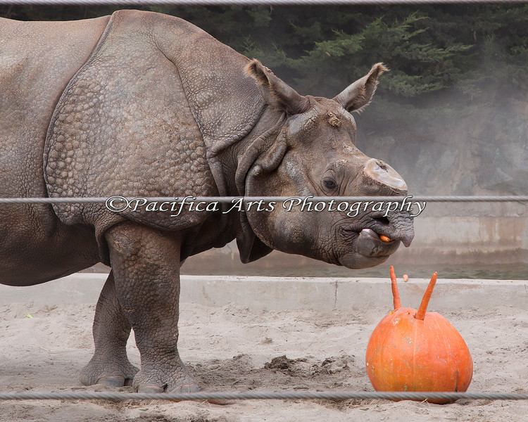Gauhati didn't eat the pumpkin, but he sure loved the carrots during Boo at the Zoo!  (Greater One-horned Rhinoceros)