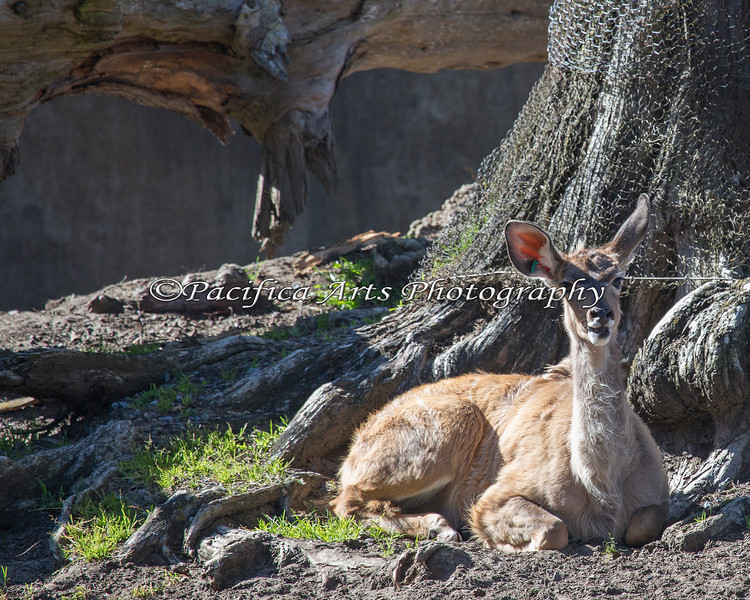 Young Greater Kudu female resting during the afternoon.