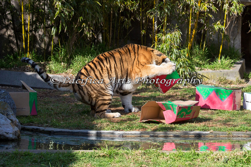 Martha (Siberian Tiger) loves to stick her head all the way in the box looking for those treats!