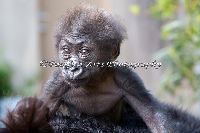 Holding on tight!  (3 month old female, Western Lowland Gorilla)
