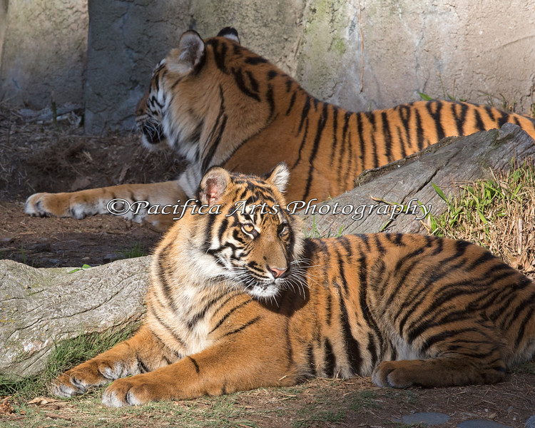 Jillian (in the front) and Leanne - back to back.  (Sumatran Tigers)