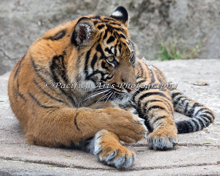 Jillian, a Sumatran Tiger cub.  She's over 100 lbs. now!
