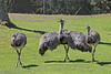 Greater Rheas at the Puente al Sur exhibit.