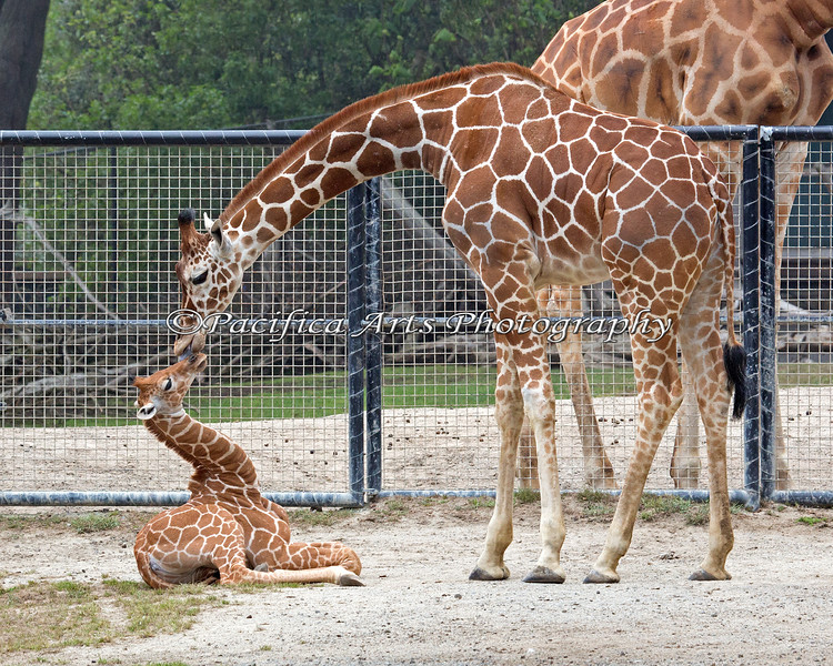 Miss Eve, from Albuquerque, gives little Erin a kiss. (Reticulated Giraffes)