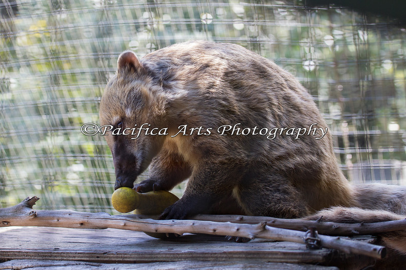 Brown-nosed or South American Coati, playing with an enrichment toy.