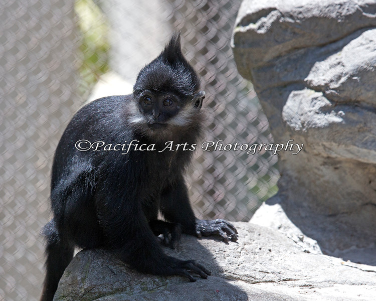 Here's Romo!  She's about 7 months old and all black now - except for her white cheek fringe! (Francois' Langur)
