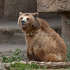 Grizzly Bear, Kiona
